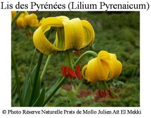 Lis des Pyrénées (Lilium pyrenaicum)  Julien Aït El Mekki SITE