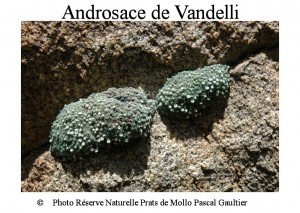 androsace de Vandelli SITE