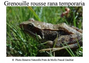 grenouille rousse rana temporaria SITE