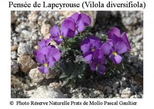Pensée de Lapeyrouse (vilola diversifolia)21 SITE
